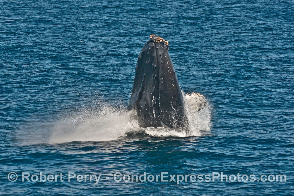 1 of 7 images in a row:  a humpback whale (<em>Megaptera novaeangliae</em>) breaches as it heads directly at the camera.