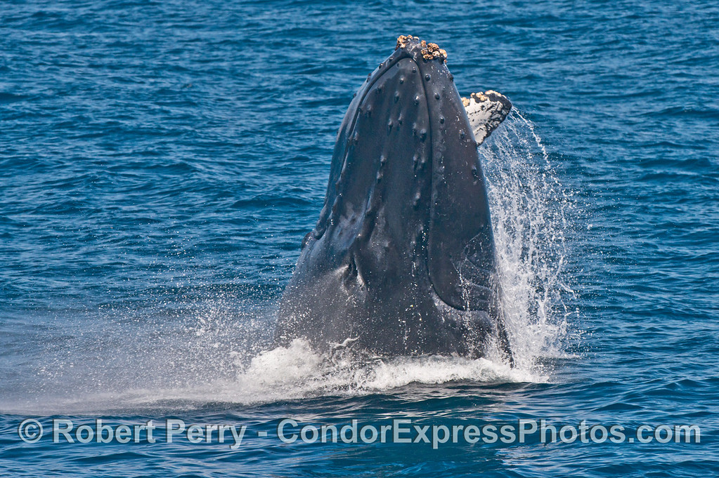 2 of 7 images in a row:  a humpback whale (<em>Megaptera novaeangliae</em>) breaches as it heads directly at the camera.