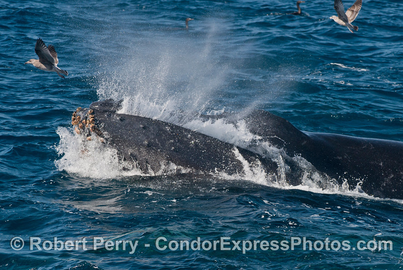 Jaws shut, and water is ejected from the mouth, keeping the anchovy school inside, as this giant humpback whale (<em>Megaptera novaeangliae</em>) lunge feeds on the surface.