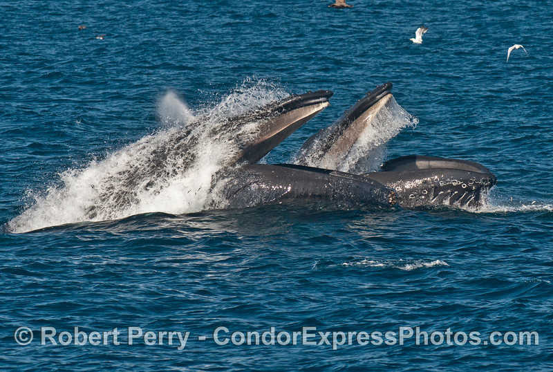 Image 1 of 3 in a row:  Two humpback whales (<em>Megaptera novaeangliae</em>) lunge forward at high speeds to engulf a school of anchovies.