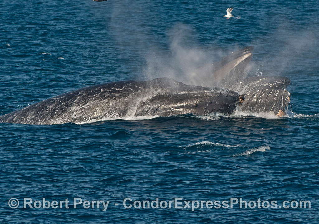 Image 2 of 3 in a row:  Two humpback whales (<em>Megaptera novaeangliae</em>) lunge forward at high speeds to engulf a school of anchovies. The mouth of the nearest whale has slammed shut sending spray flying like smoke from a burning building.
