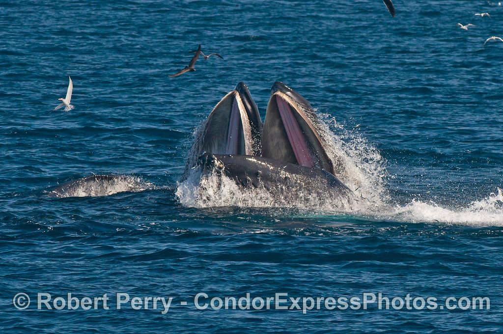 Two humpback whales (<em>Megaptera novaeangliae</em>) mouths, wide open, with anchovies.