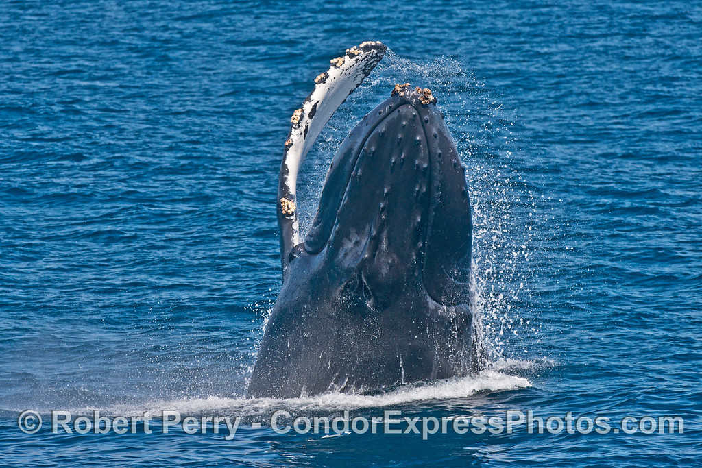3 of 7 images in a row:  a humpback whale (<em>Megaptera novaeangliae</em>) breaches as it heads directly at the camera.
