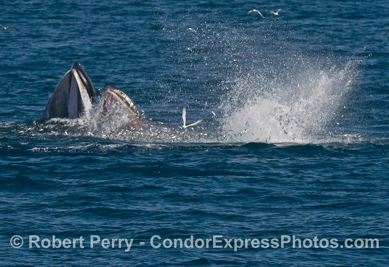 Another image of an anchovy explosion as two humpback whales (<em>Megaptera novaeangliae</em>) attack and send them flying.