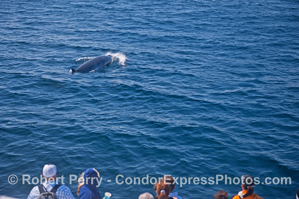 A Minke whale (<em>Balaenoptera acutorostrata</em>) rides the bow (sort of) of the Condor Express.