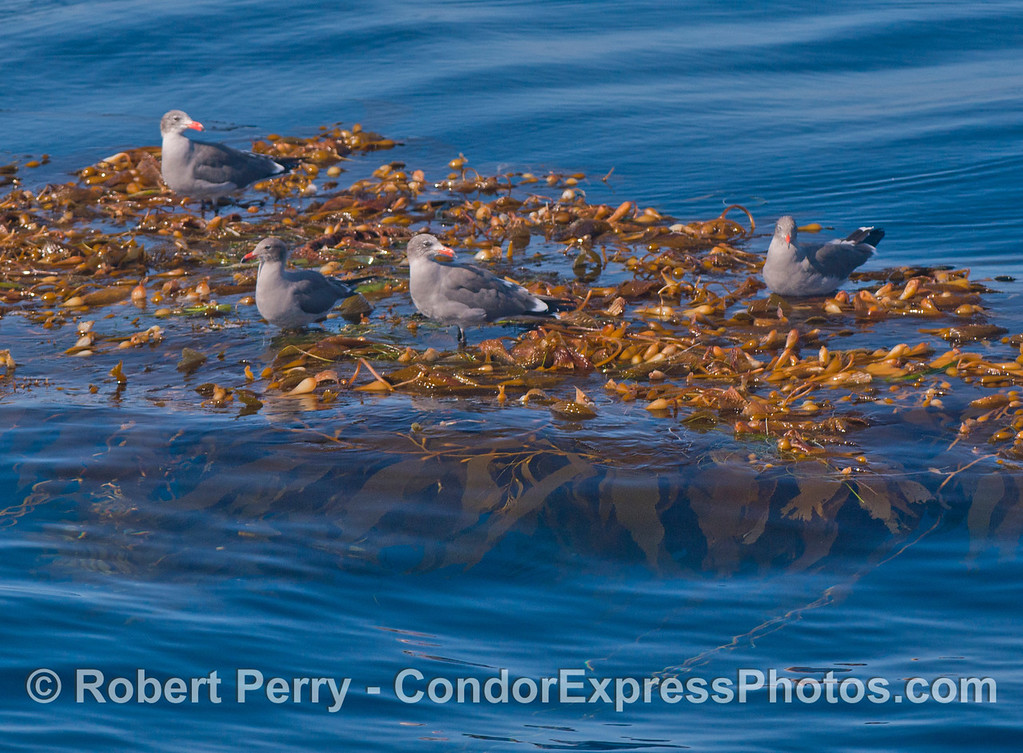 A detached and drifting paddy of giant kelp (<em>Macrocystis pyrifera</em>) provides a resting pad for Heermann's gulls (<em>Larus heermanni</em>).