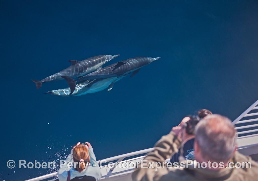 Long beaked common dolphins (<em>Delphinus capensis</em>).
