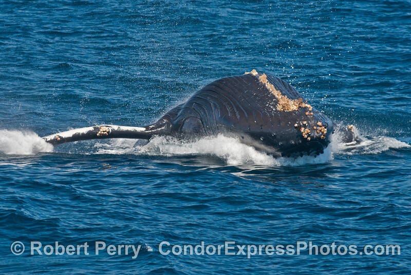 6 of 7 images in a row:  a humpback whale (<em>Megaptera novaeangliae</em>) breaches as it heads directly at the camera.