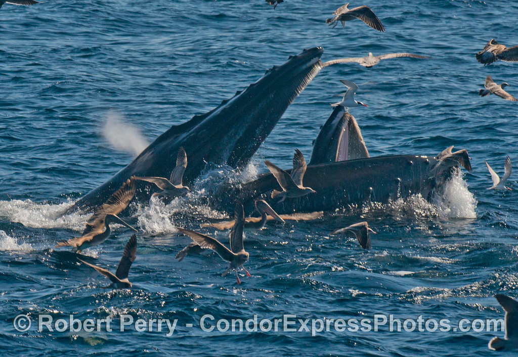 More surface lunge feeding humpback whales (<em>Megaptera novaeangliae</em>) with plenty of seabird action.