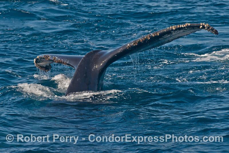 Humpback whale (<em>Megaptera novaeangliae</em>) tail flukes.