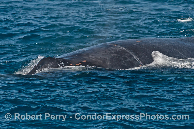 "3 of 3 shots of our humpback whale (<em>Megaptera novaeangliae</em>) friend ""Rope"" showing her entanglement scar."