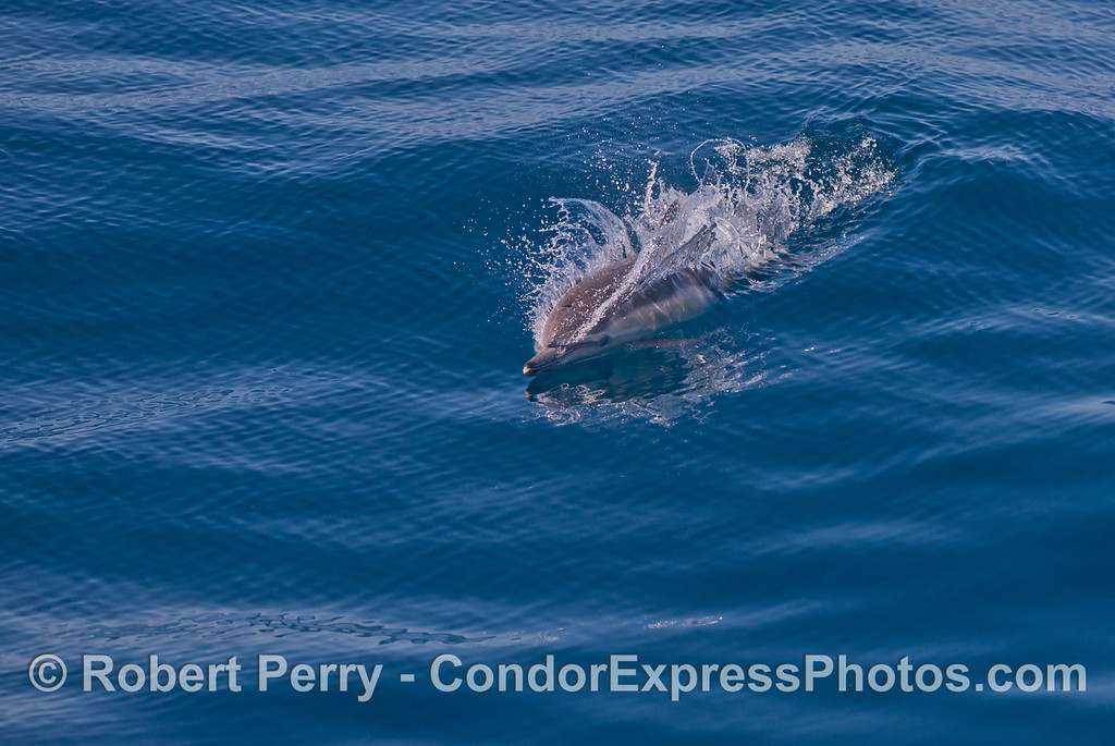 Long beaked common dolphin (<em>Delphinus capensis</em>).