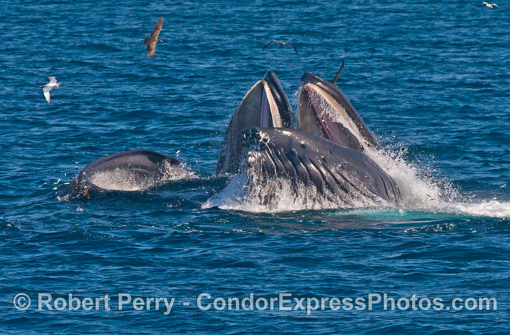 Two humpback whale (<em>Megaptera novaeangliae</em>) mouths are seen wide open as they surface lunge feed.
