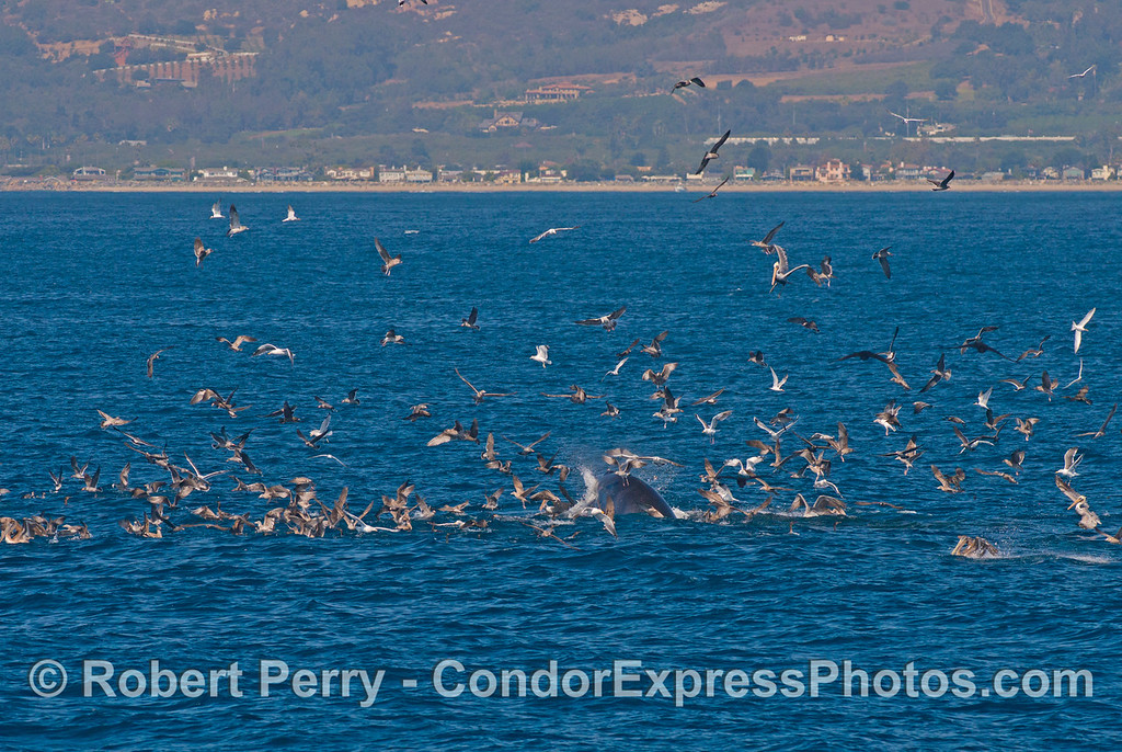 A hot spot feeding frenzy with seabirds, sea lions, dolphins and a lunge feeding whale.