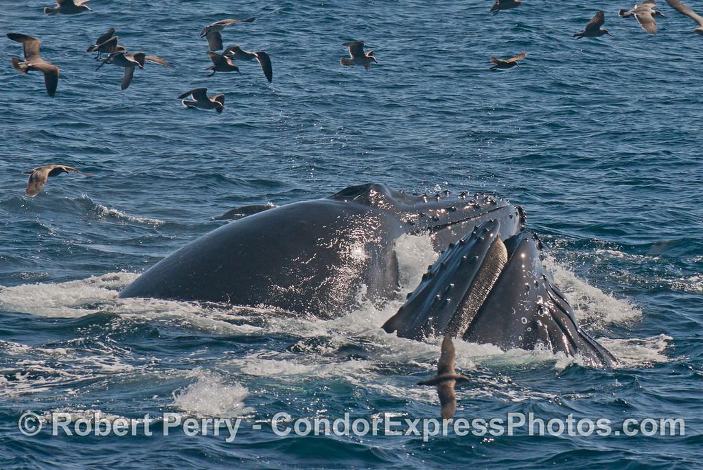 Surface lunge feeding humpback whales (<em>Megaptera novaeangliae</em>).