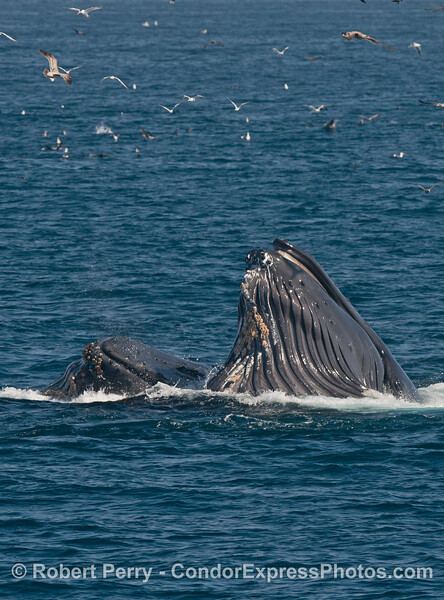Birds circle overhead as two humpback whale (<em>Megaptera novaeangliae</em>) finish a surface lunge, and have greatly expanded ventral grooves with a gular pouch full of fish and water.