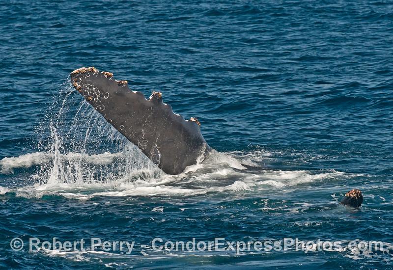 A humpback whale (<em>Megaptera novaeangliae</em>) slaps its long wings on the water.