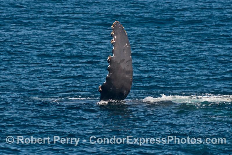 Pectoral fin of a humpback whale (<em>Megaptera novaeangliae</em>).