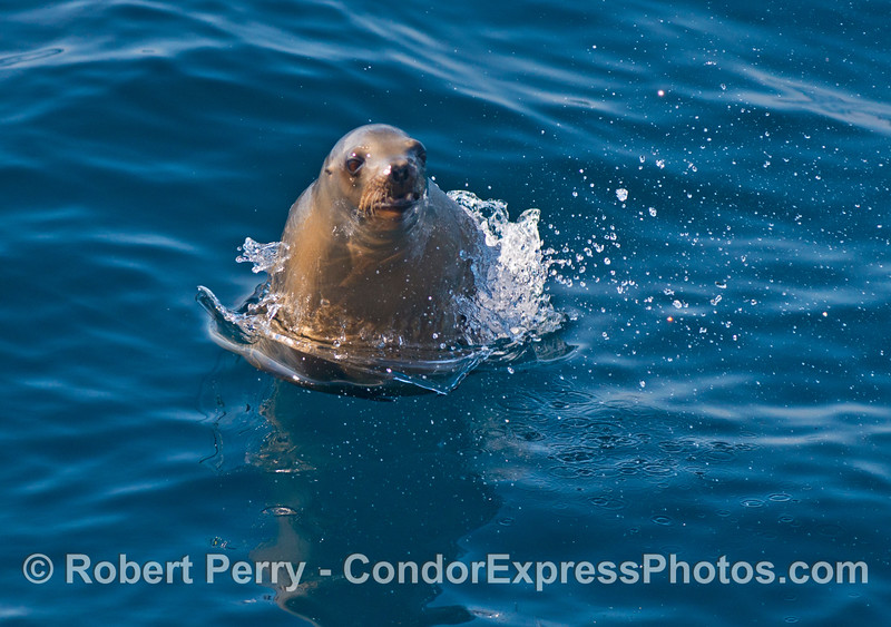 A California sea lion (<em>Zalophus californianus</em>).