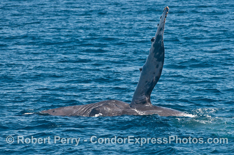 A humpback whale (<em>Megaptera novaeangliae</em>) is seen on its side with its long pectoral fin straight up in the air.