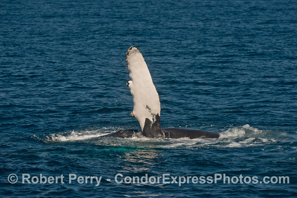 One of ten images of a humpback whale (Megaptera novaeangliae) slapping its long pectoral fins on the ocean surface.