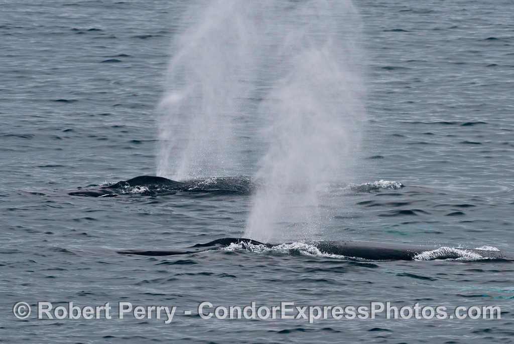 Two humpback whales (<em>Megaptera novaeangliae</em>) spout simultaneously.