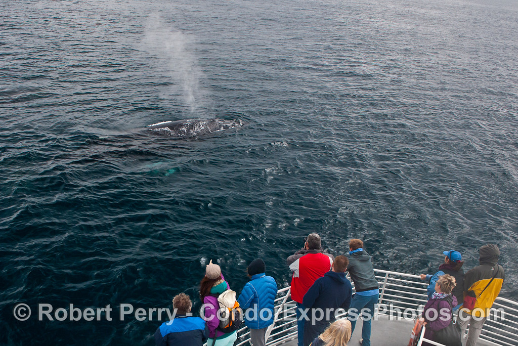 One of two humpback whales (<em>Megaptera novaeangliae</em>) come in close and spouts for the whale watchers.