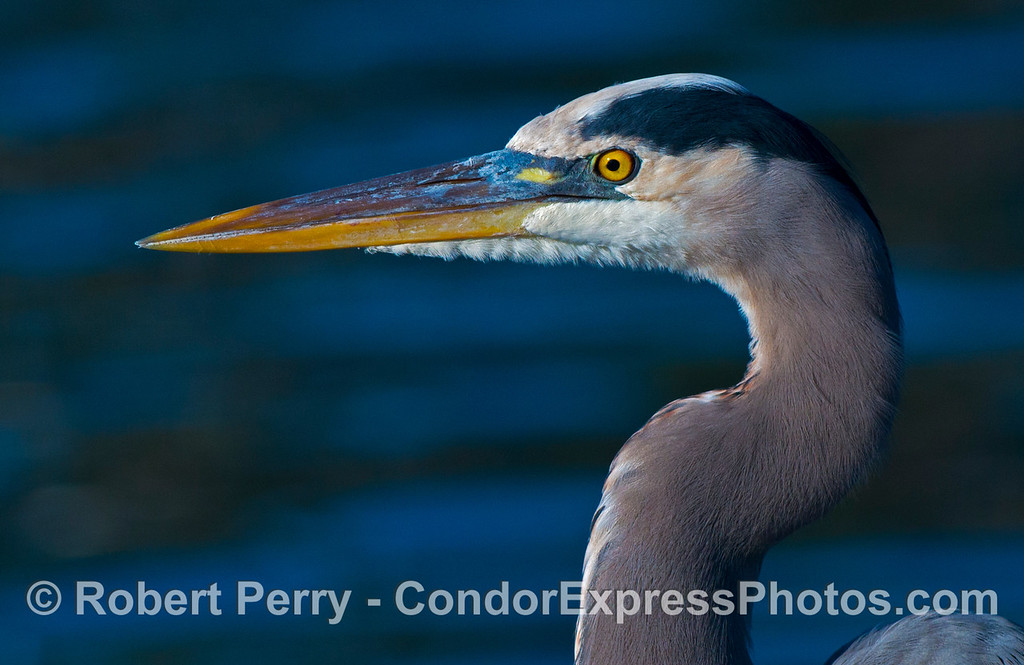 A majestic great blue heron (<em>Ardea herodias</em>) poses for a portrait on the jet ski rental dock in Santa Barbara Harbor.