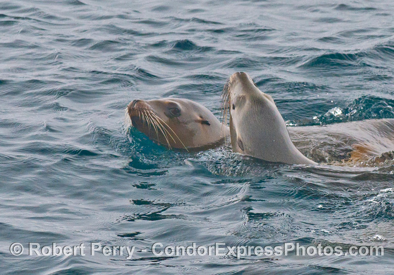 A closer look at two cavorting California sea lions (<em>Zalophus californianus</em>).