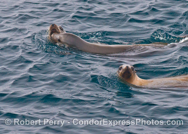 Three California sea lions (<em>Zalophus californianus</em>) cavort.