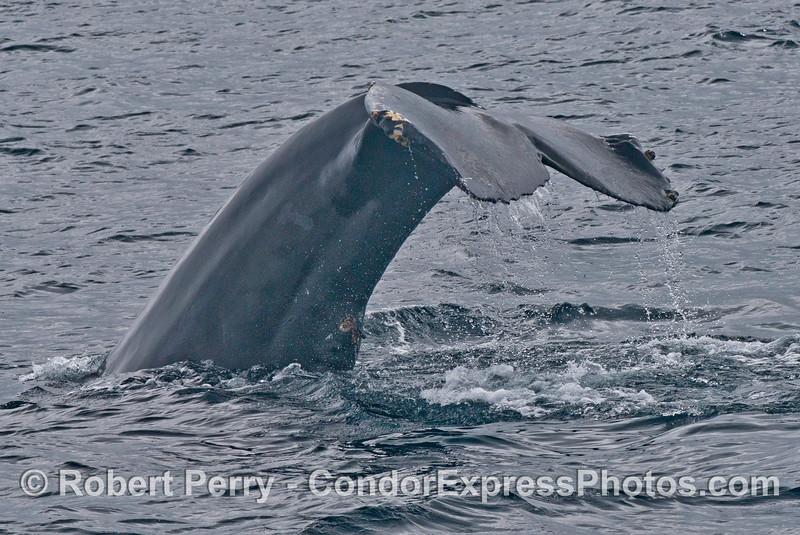 A humpback whale (<em>Megaptera novaeangliae</em>) with a damaged tail.