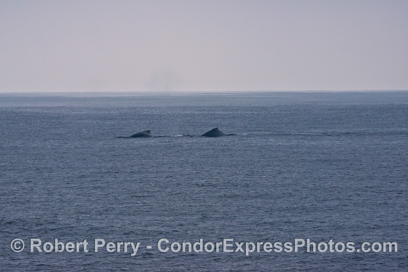 Two humpback whales (<em>Megaptera novaeangliae</em>) as seen in the distance.