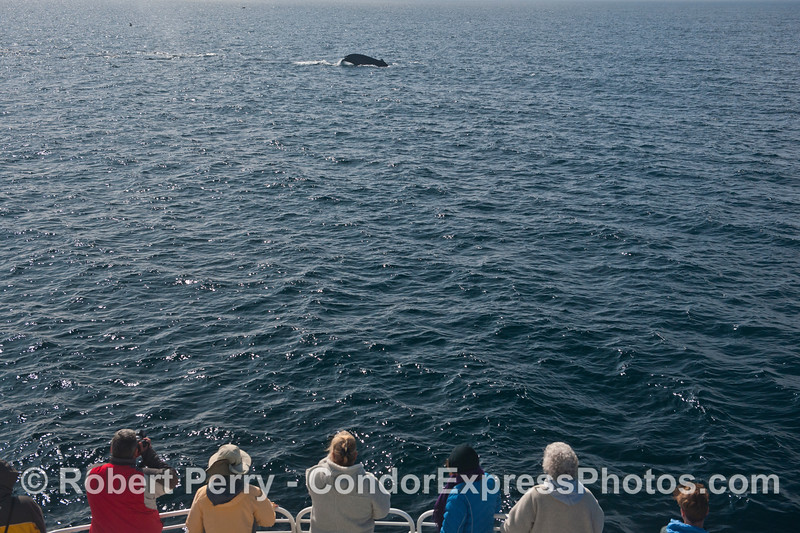 Megaptera novaeangliae & passengers 2013 10-26 SB Channel East-032