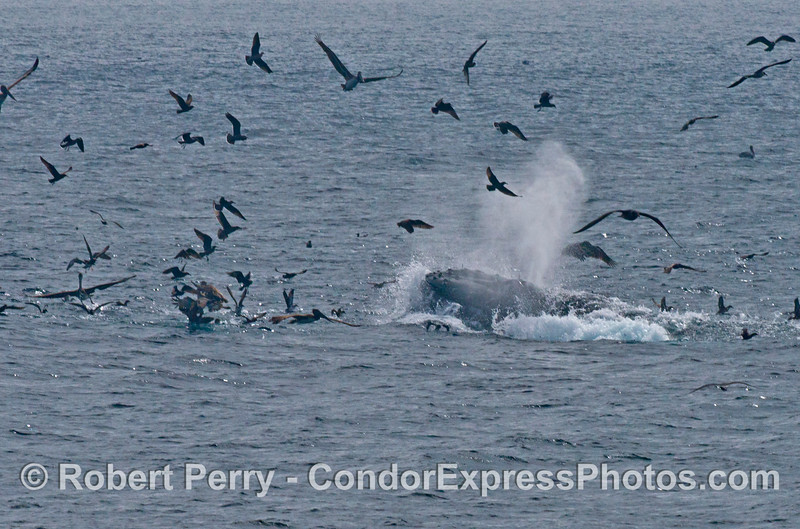 Image 1 of 3:  A surface lunge feeding humpback whale (<em>Megaptera novaeangliae</em>) gets the attention of a mass of seabirds.