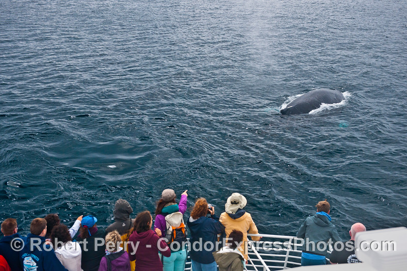 A humpback whale (<em>Megaptera novaeangliae</em>) surfaces right in front of the boat.