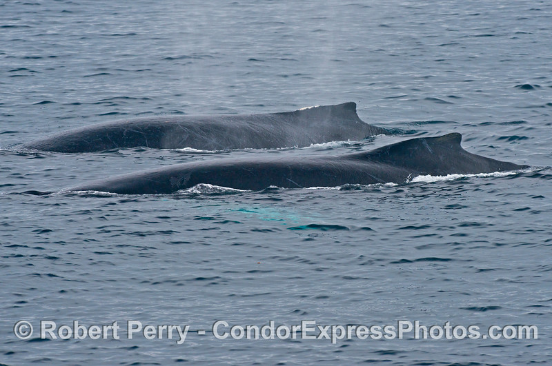 Two humpback whales (<em>Megaptera novaeangliae</em>) side by side.
