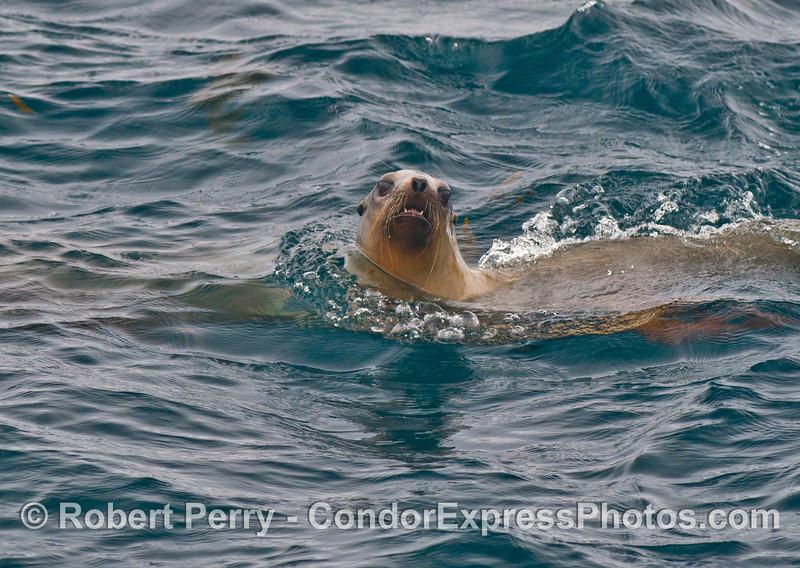 A California sea lion (<em>Zalophus californianus</em>) takes a look at the camera lens.