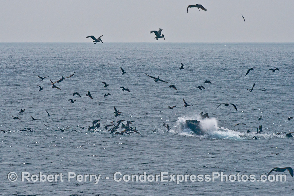 Image 2 of 3:  A surface lunge feeding humpback whale (<em>Megaptera novaeangliae</em>) gets the attention of a mass of seabirds.