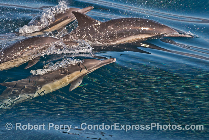 A feeding pod of a long beaked common dolphins (<em>Delphinus capensis </em>) attacking  a massive school of northern anchovies (<em>Engraulis mordax</em>).