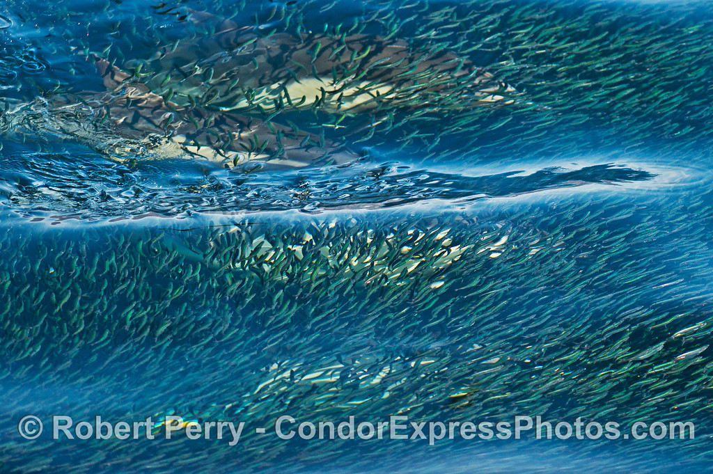 Surface ripples help magnify a very dense ball northern anchovies (Engraulis mordax) with several long beaked common dolphins (Delphinus capensis ) below.