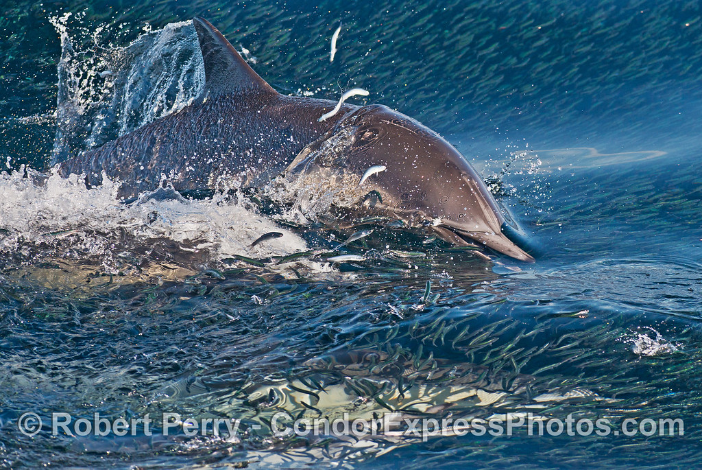 A pack of hungry long beaked common dolphins (<em>Delphinus capensis </em>) sends northern anchovies (<em>Engraulis mordax</em>) jumping for their lives.