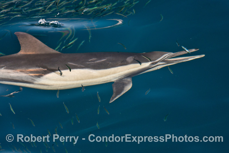 A very close up look at a long beaked common dolphin (<em>Delphinus capensis </em>) swimming through a massive school of northern anchovies (<em>Engraulis mordax</em>).  The dolphin has isolated one fish and is in the process of feeding.