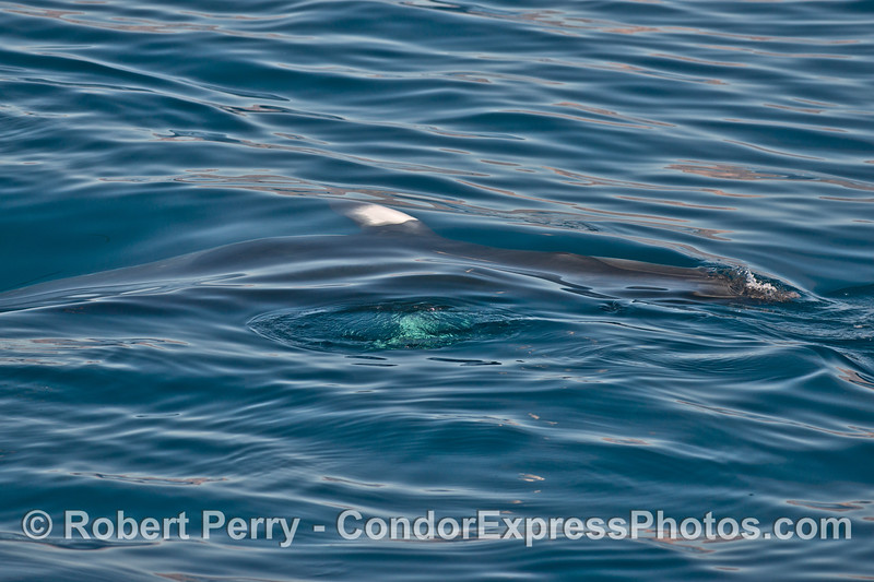 Nice close up looks at a Minke whale (<em>Balaenoptera acutorostrata</em>) .