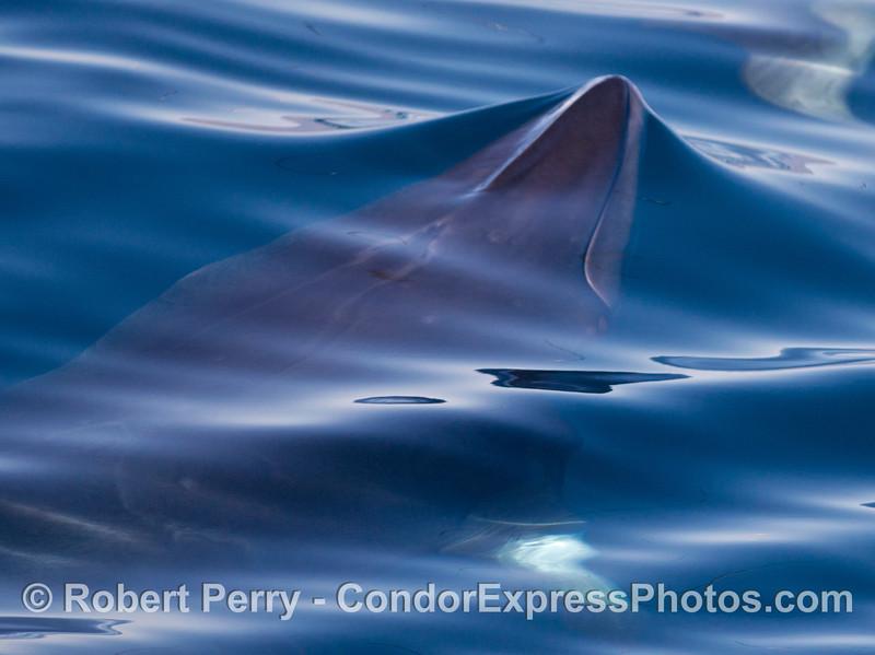 Nice close up looks at a Minke whale (<em>Balaenoptera acutorostrata</em>) .