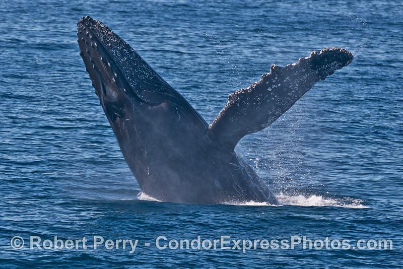 Image 1 of 3 in a sequence: a breaching humpback whale (<em>Megaptera novaeangliae</em>) .
