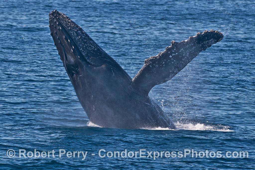 Image 1 of 3 in a sequence: a breaching humpback whale (<em>Megaptera novaeangliae</em>) .