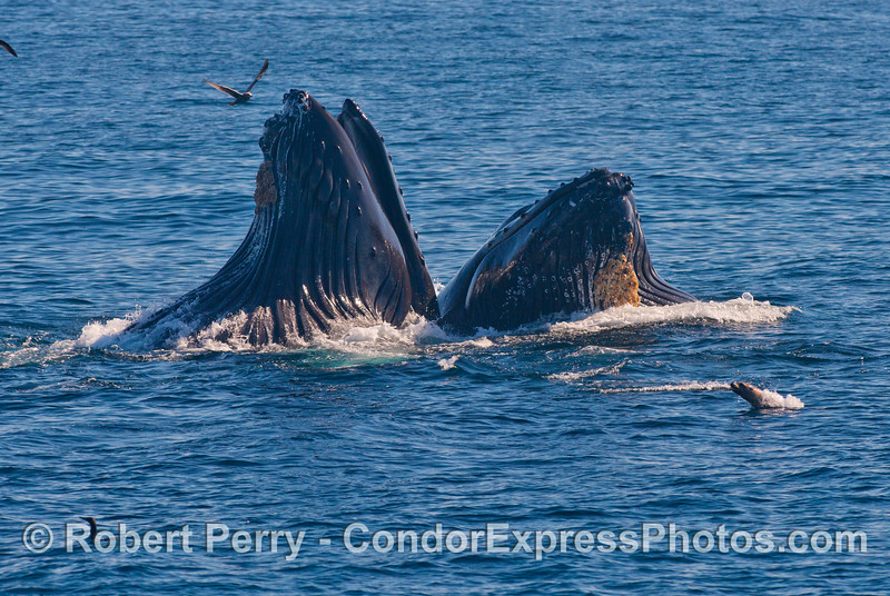 Two vertical lunge feeding humpback whales (<em>Megaptera novaeangliae</em>) and a curious sea lion.