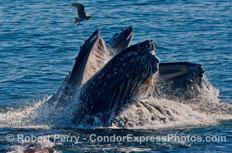 Two vertical lunge feeding humpback whales (<em>Megaptera novaeangliae</em>) send the anchovies flying.