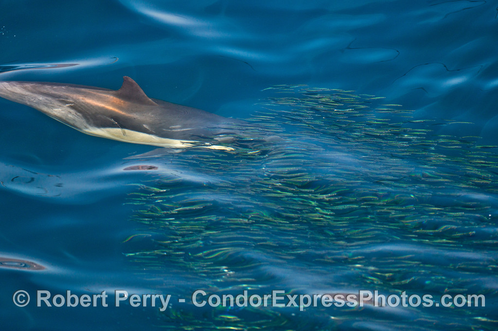 A school of northern anchovies (<em>Engraulis mordax</em>) with a predatory common dolphin (<em>Delphinus capensis </em>) seen in very blue water.