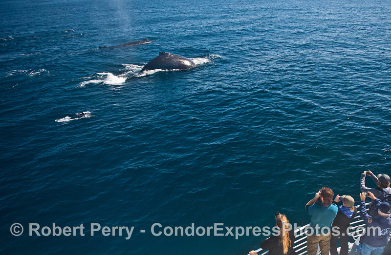 Humpback whales (<em>Megaptera novaeangliae</em>) make a friendly approach to the delight of all.